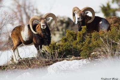 mouflon6.jpg